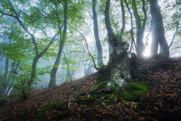 Mystical spring forest in fog. Magical old trees in clouds - Stock Photo - Images