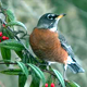 American Robin On Berry Tree 09