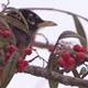 American Robin On Winter Berry Tree - VideoHive Item for Sale