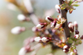 Buds of the first spring blooms - PhotoDune Item for Sale