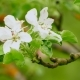 Background Blooming of an Apple Tree