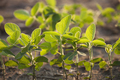 Close Up of Young Soybean Plants