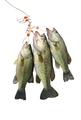 Stringer of Largemouth Bass Isolated on White Background