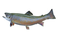 Brook Trout Isolated on White Background