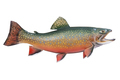 Brook Trout in Spawning Colors Isolated on White Background