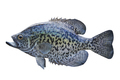 Black Crappie Isolated on White Background