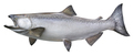 King Salmon Isolated on White Background