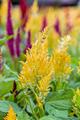Celosia Argentea flower