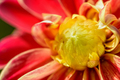 Close up middle Dahlia flower - PhotoDune Item for Sale