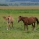 Two Horses on Pasture - VideoHive Item for Sale