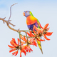 Rainbow Lorikeet  - PhotoDune Item for Sale
