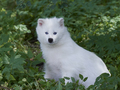 White raccoon dog (Nyctereutes procyonoides)