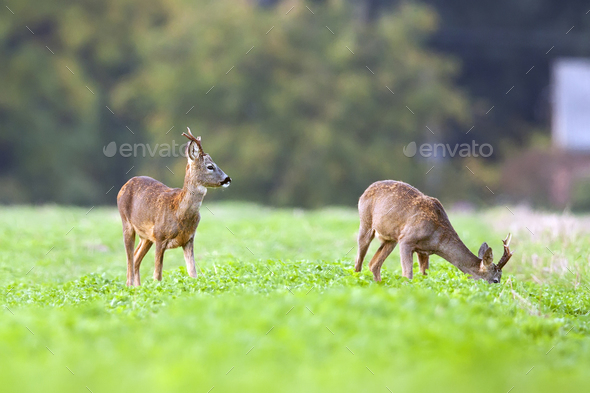 Buck deers in a clearing - Stock Photo - Images