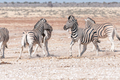 Two Burchells zebra stallions getting ready to attack each other