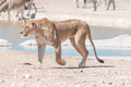 African Lioness with scars and visible wounds walking
