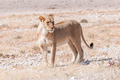 African Lioness standing and looking sideways