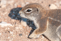 Profile of cape ground squirrel, Xerus inauris in Northern Namibia