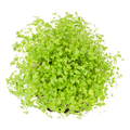 Rocket salad or arugula sprouts froma bove