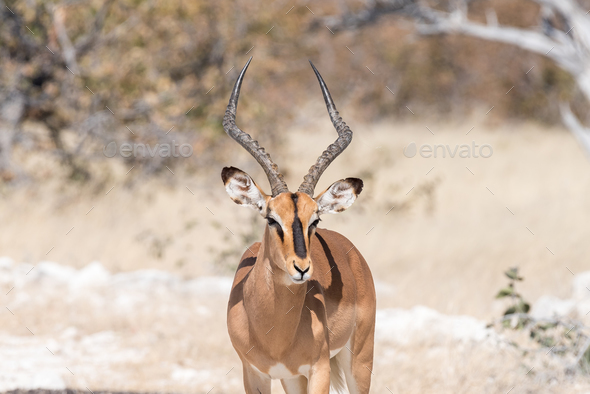 Close-up of a black-faced impala ram - Stock Photo - Images