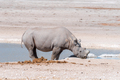 Black rhinoceros with horns trimmed, drinking water