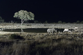 Black rhinos at an artificially lit waterhole - PhotoDune Item for Sale