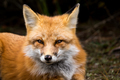 Red Fox - Vulpes vulpes, a close-up portrait while laying down in the forest