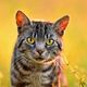 Close up of domestic cat, back lit by sun - PhotoDune Item for Sale