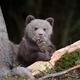 Brown bear cub - PhotoDune Item for Sale