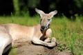 Kangaroo in grass