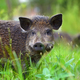 Wild boar on the forest - PhotoDune Item for Sale