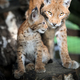 Baby Eurasian Lynx in the forest - PhotoDune Item for Sale