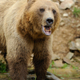 Big brown bear in the forest - PhotoDune Item for Sale