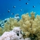 School of Fish Sea Goldie (Pseudanthias Squamipinnis) and Bicolor Damselfish (Chromis Dimidiata