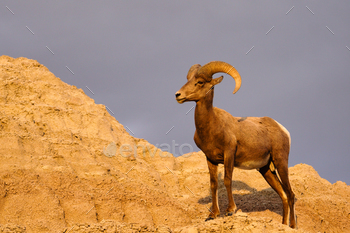 Wild Animal High Desert Bighorn Sheep Male Ram