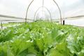 กกกFresh butterhead salad lettuce - PhotoDune Item for Sale