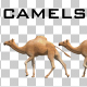 Camels - VideoHive Item for Sale