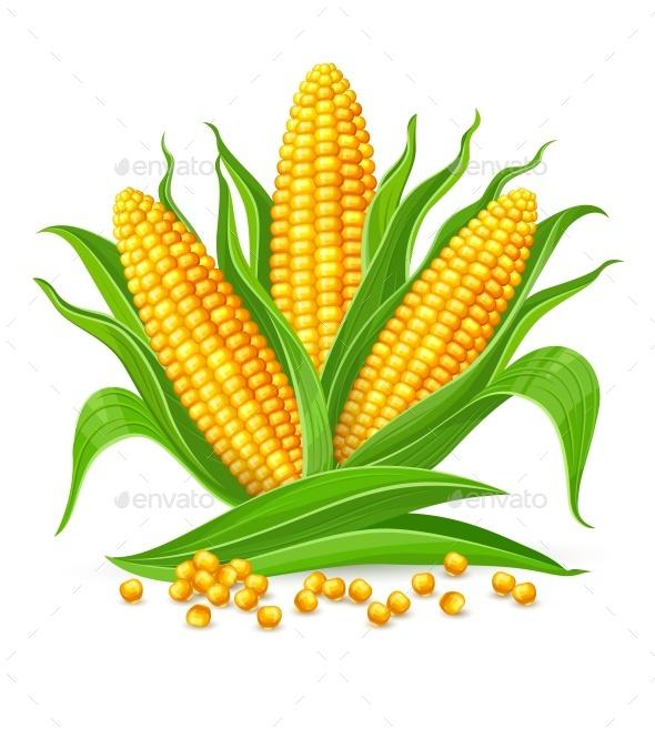 Corn Cobs Isolated - Vectors