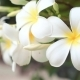 of White Frangipani Flowers - VideoHive Item for Sale