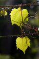 Leaves of grapevine after rain - PhotoDune Item for Sale