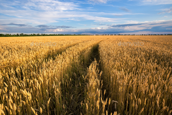 Road to the field with yellow ears of wheat - Stock Photo - Images