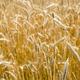 Italian golden wheat cultivation. - PhotoDune Item for Sale