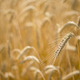 Italian golden wheat cultivation. - PhotoDune Item for Sale