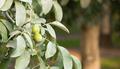 Lime Orchard Tart Fruit Covered in Pestisides