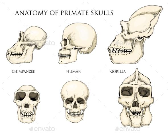 GraphicRiver Human and Chimpanzee Gorilla Biology and Anatomy 20523343