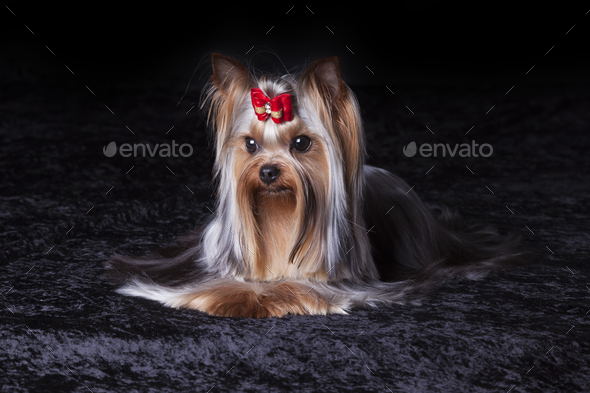 Cute Yorkie in Red Bow on Dark Background - Stock Photo - Images