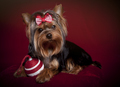 Cute Yorkie in Red and White Bow and Christmas Ornament on Dark Red Background