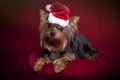 Cute Yorkie in Red and Santa Hat on Dark Red Background