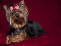Cute Yorkie in Red and White Bow on Dark Red Background