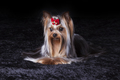Cute Yorkie in Red Bow on Dark Background