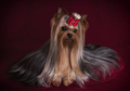 Cute Yorkie in Red Bow on Dark Red Background